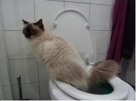 Cat using the toilet!